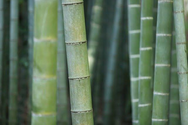 Bamboe: snelgroeiend en sterk